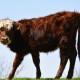 watermark cow